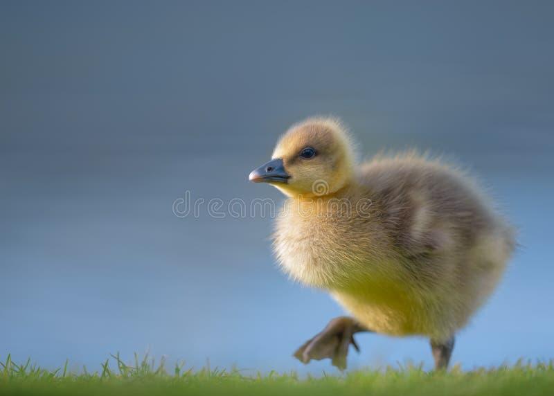 Canada Gosling marchant par l'eau bleue image libre de droits