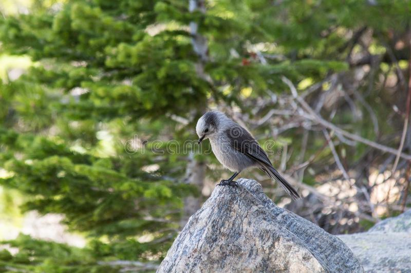 Canada Jay at Bear Lake in Rocky Mountain National Park. This is a Canada Jay at Bear Lake in Rocky Mountain National Park, Colorado. They are also known as a royalty free stock photography