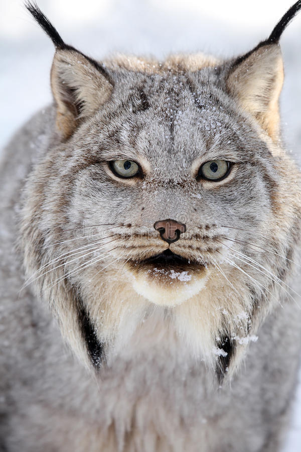 Download Canada Lynx Royalty Free Stock Images - Image: 16697849
