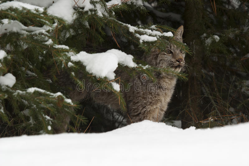 Canada lynx hiding in pine trees in deep snow stock image