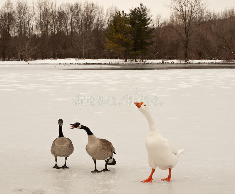 Canada And Snow Geese Royalty Free Stock Images