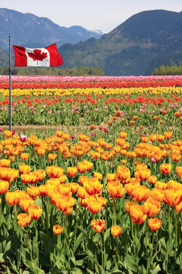 Canada Tulip fields stock photography