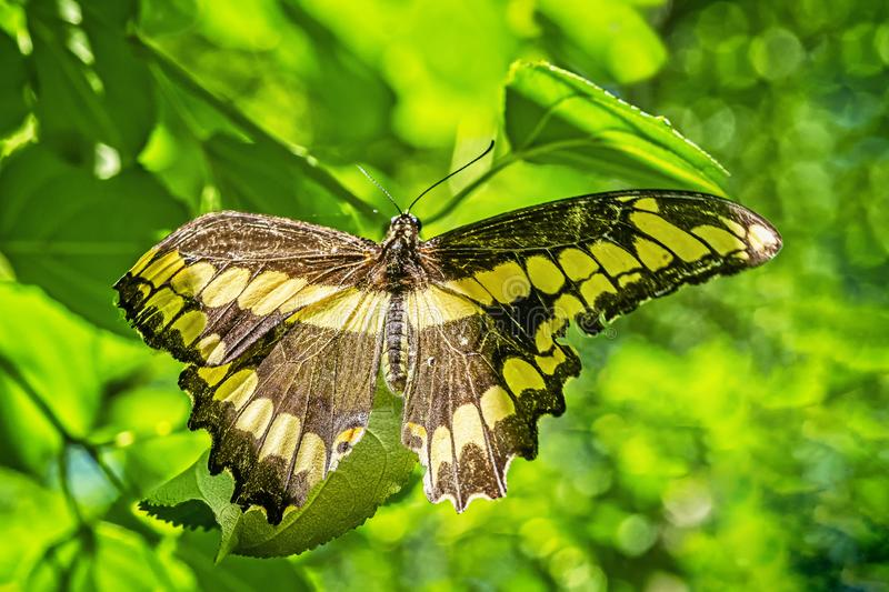 Canadees Tiger Swallowtail Butterfly royalty-vrije stock foto