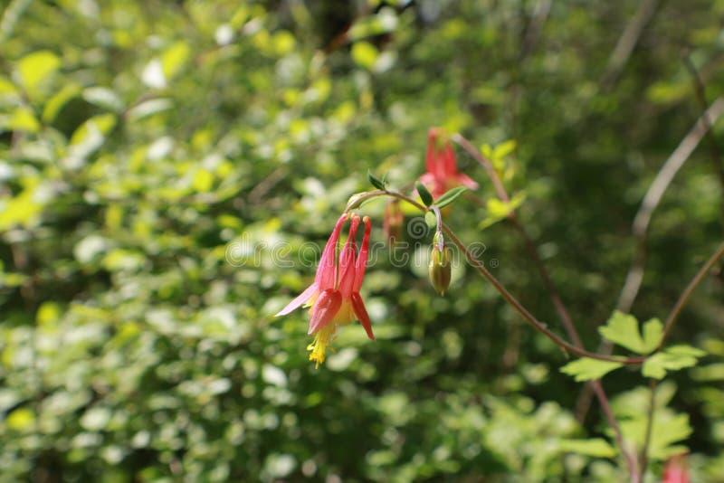 Canadensis aquilégia vermelho oriental de Aquilegia imagens de stock royalty free