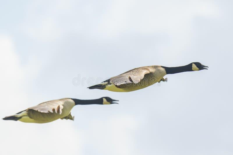 Καναδικό canadensis Branta χήνων που μεταναστεύει κατά την πτήση στοκ φωτογραφίες με δικαίωμα ελεύθερης χρήσης