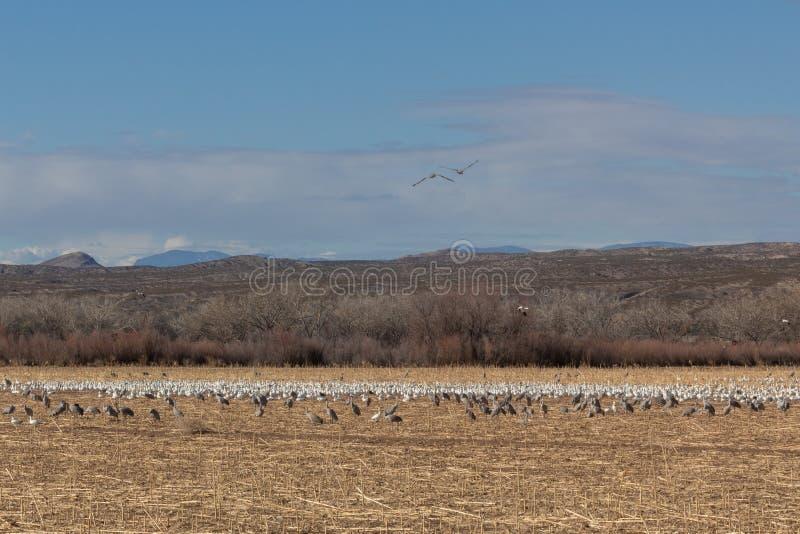 Canadensis d'Antigone de grues de Bosque del Apache Nouveau Mexique, de Sandhill et caerulescens d'Anser d'oies de neige dans le  image stock