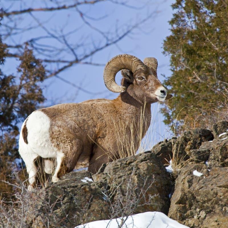 Canadensis del Ovis della ram delle pecore di Bighorn fotografia stock libera da diritti