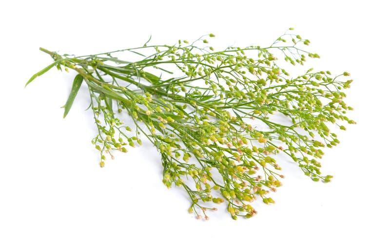 Canadensis Erigeron или canadensis Conyza Общие имена включают horseweed, канадский horseweed, канадское fleabane, coltstail, mar стоковое изображение rf