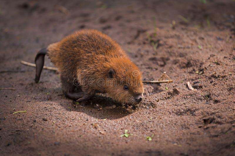 Canadensis nordamericano Kit Runs Across Sand della macchina per colata continua del castoro fotografia stock