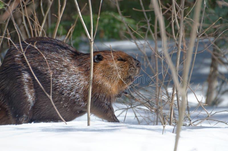 Canadensis norteamericano del echador del castor foto de archivo