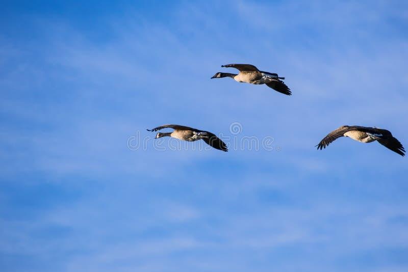 Canadensis van drie Ganzenbranta van Canada het vliegen royalty-vrije stock afbeeldingen