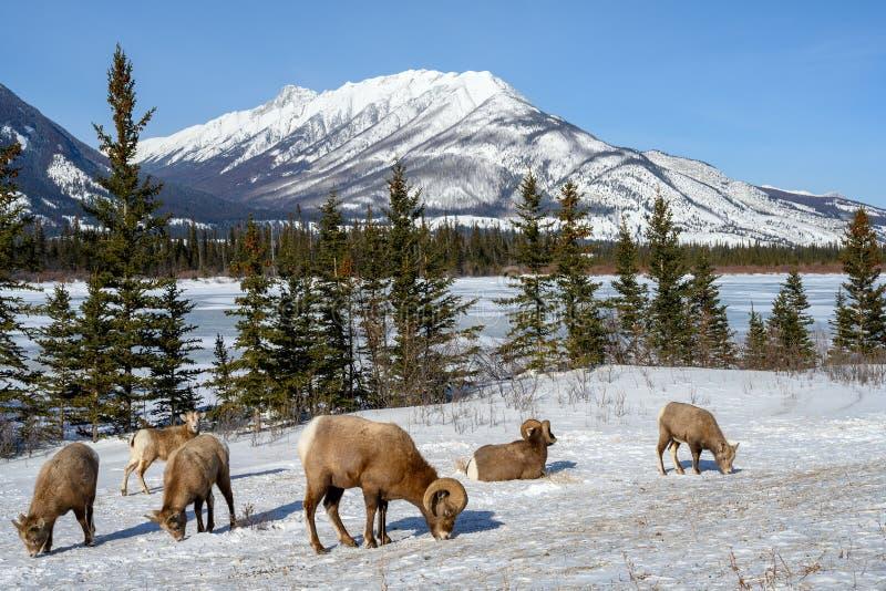 Canadensis van Ovis van Bighornschapen, Jasper National Park, Alberta, Canada stock foto