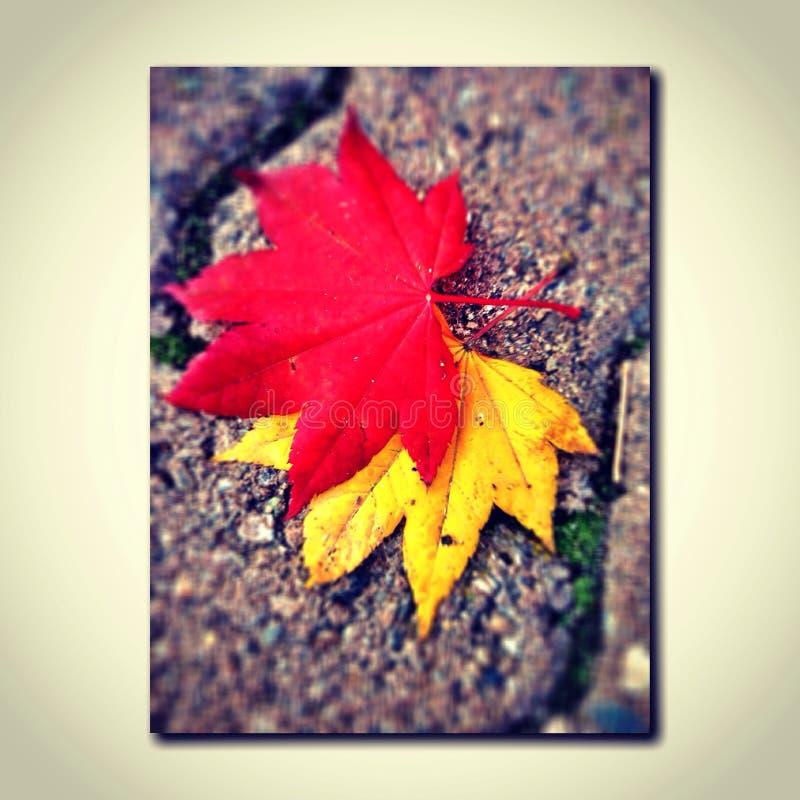 Canadese bladeren royalty-vrije stock foto