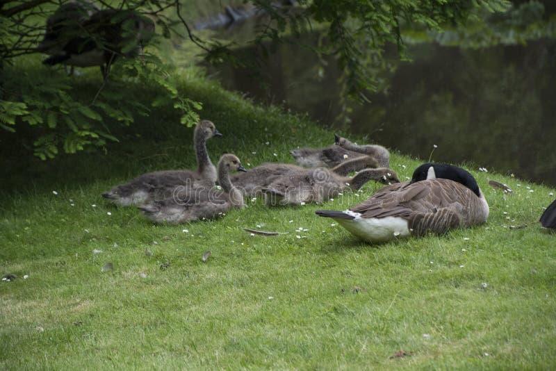 Canadese Gansfamilie met de babyganzen van Gansjesaka stock foto's