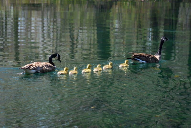 Canadese Gansfamilie met Zes Babys stock fotografie