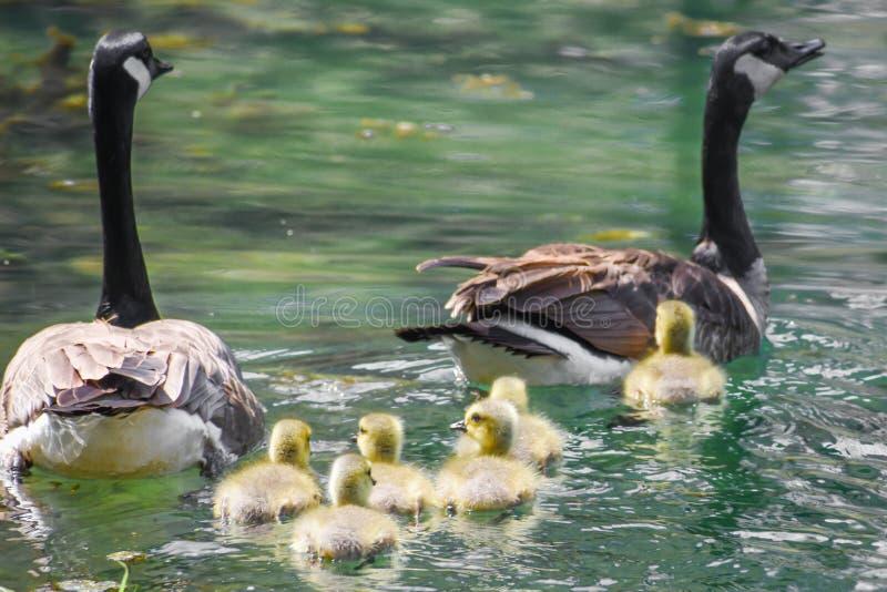 Canadese Gansfamilie met Zes Babys royalty-vrije stock fotografie