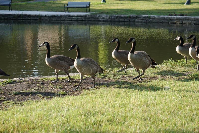 Canadese ganzen die een wandeling nemen stock afbeeldingen