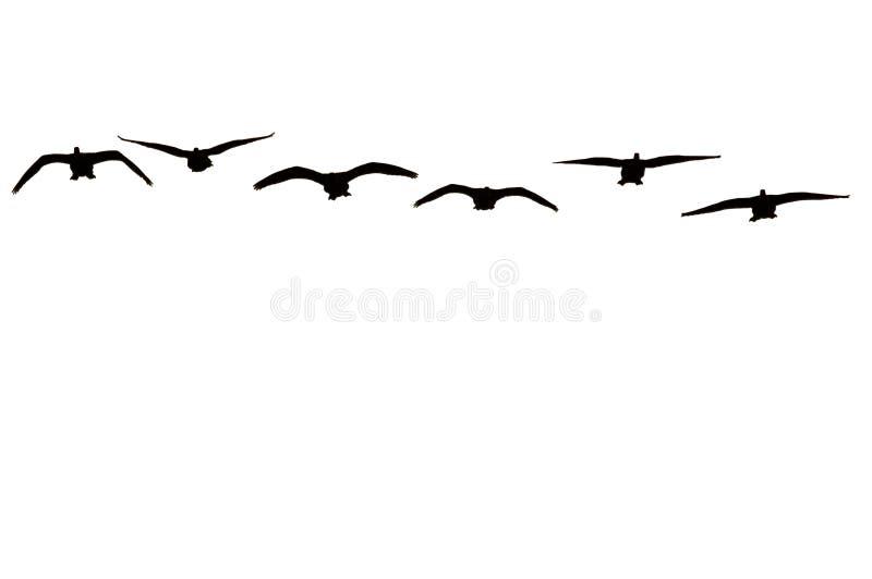 Canadese ganzen die op witte achtergrond worden geïsoleerda royalty-vrije stock afbeeldingen