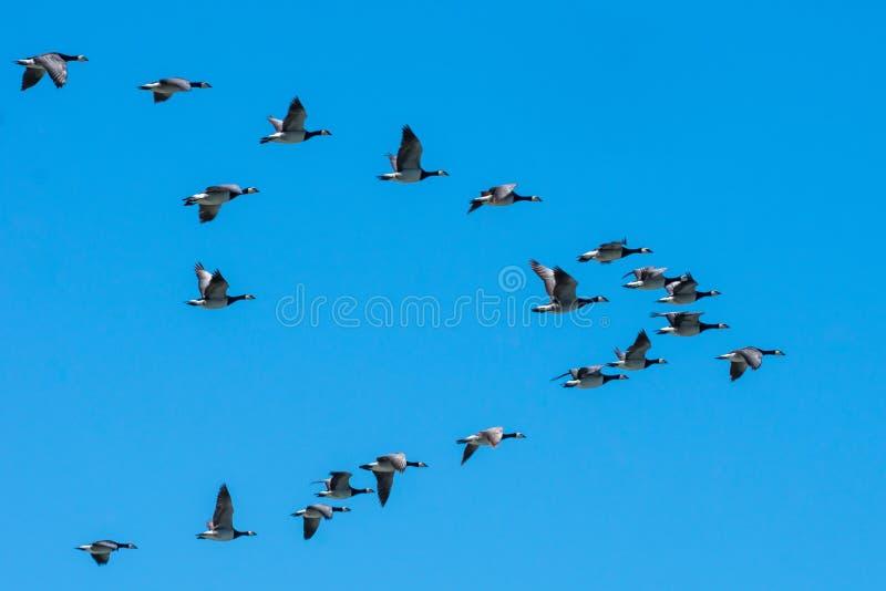 Canadese ganzen die zuiden in ploegvorming vliegen stock fotografie