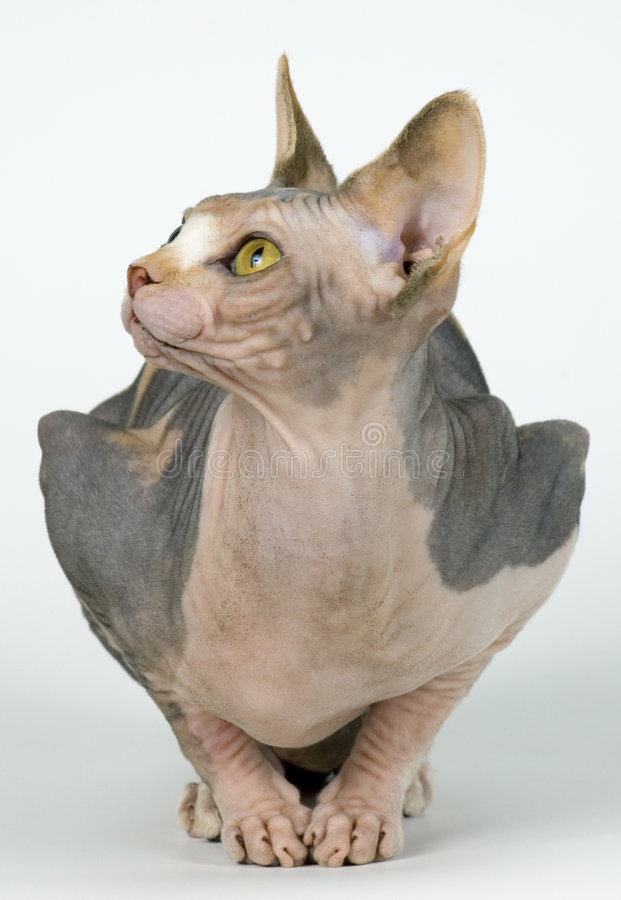 Canadese sphynx stock foto's