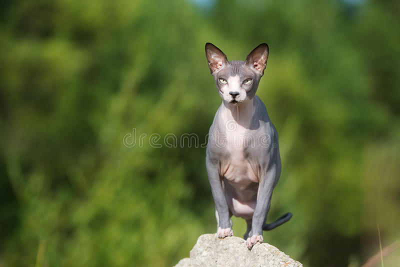 Canadese sphynxkat in openlucht stock foto