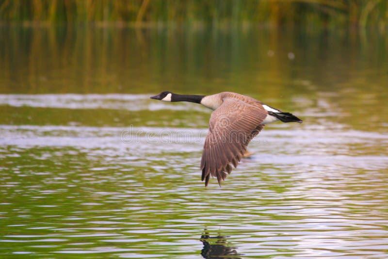 Canadese Vliegende Gans royalty-vrije stock foto's