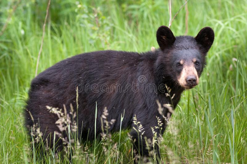 Canadian Black Bear Cub Ursus. In long grass in Algonquin Provincial Park Ontario Canada royalty free stock photo