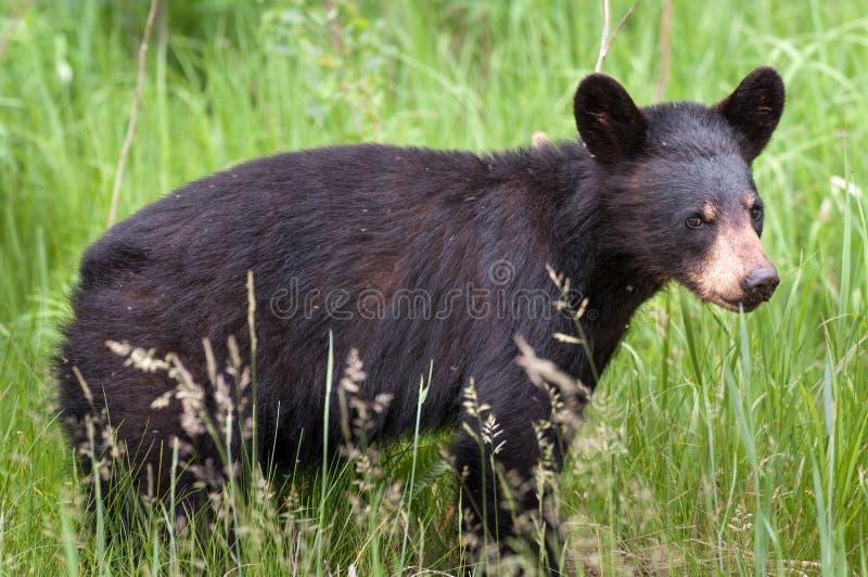 Canadian Black Bear Cub Ursus. In long grass in Algonquin Provincial Park Ontario Canada stock photos