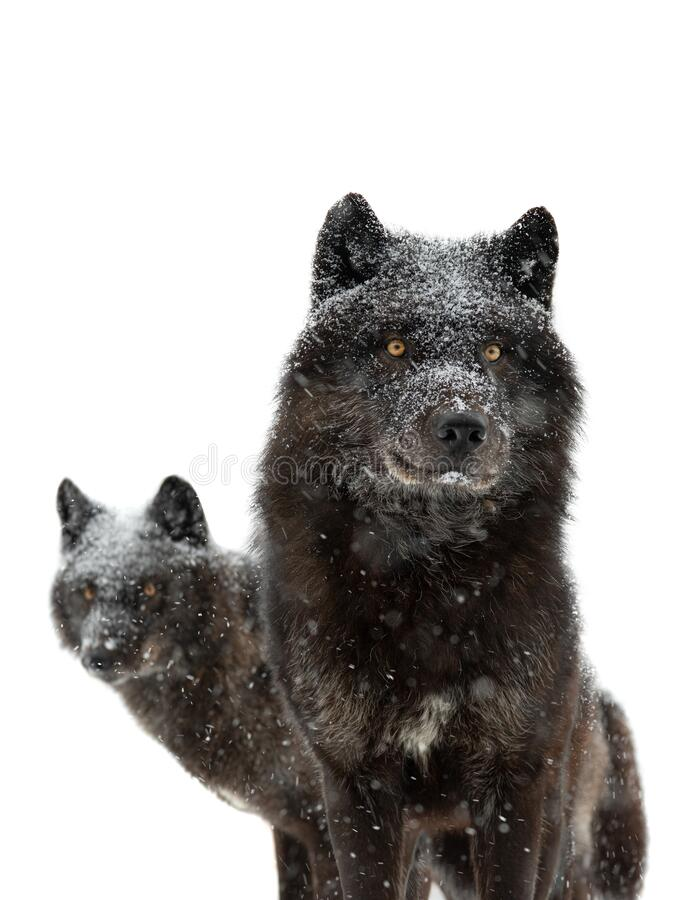 Free Canadian Black Wolfs During Snowfall Isolated On White Background Stock Photo - 219750000