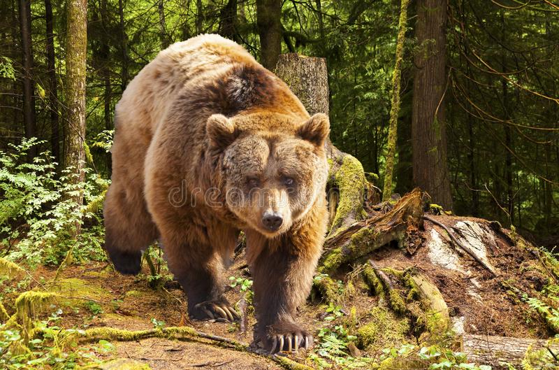 Canadian brown bear moving in the forest stock photography