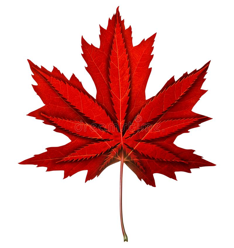 Canadian Cannabis. Decriminalization and marijuana legalization in Canada as a maple red leaf with a weed symbol inside as a recreational drug or medical herbal stock illustration