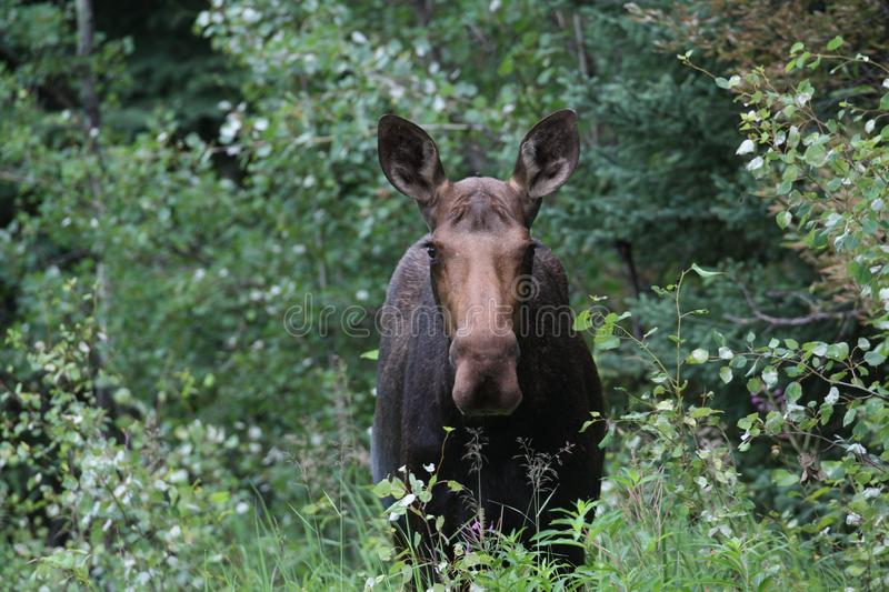 Canadian cow moose. An Alberta cow moose in the boreal forest 1 royalty free stock images