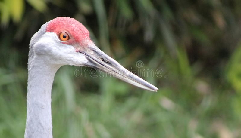 Canadian Crane stock photography
