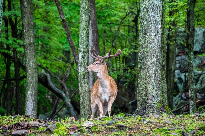 Canadian elk antlers deer royalty free stock images
