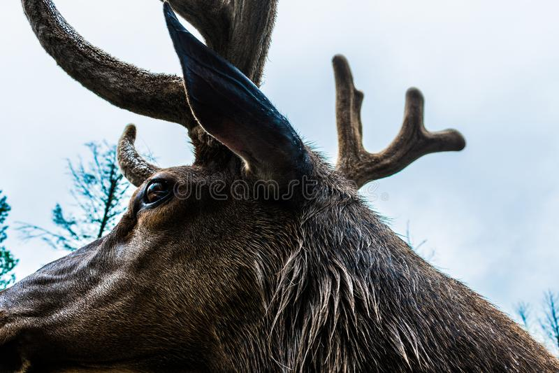 Canadian elk antlers royalty free stock photos