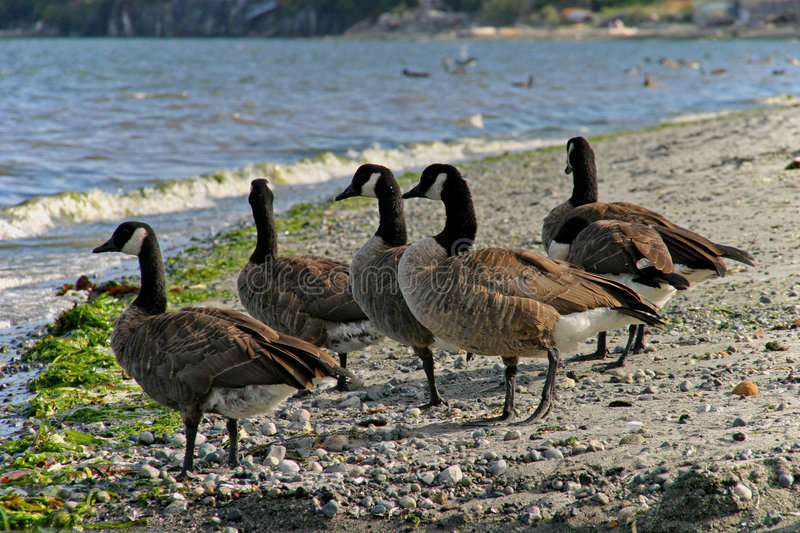 Download Canadian Geese Royalty Free Stock Images - Image: 1153989