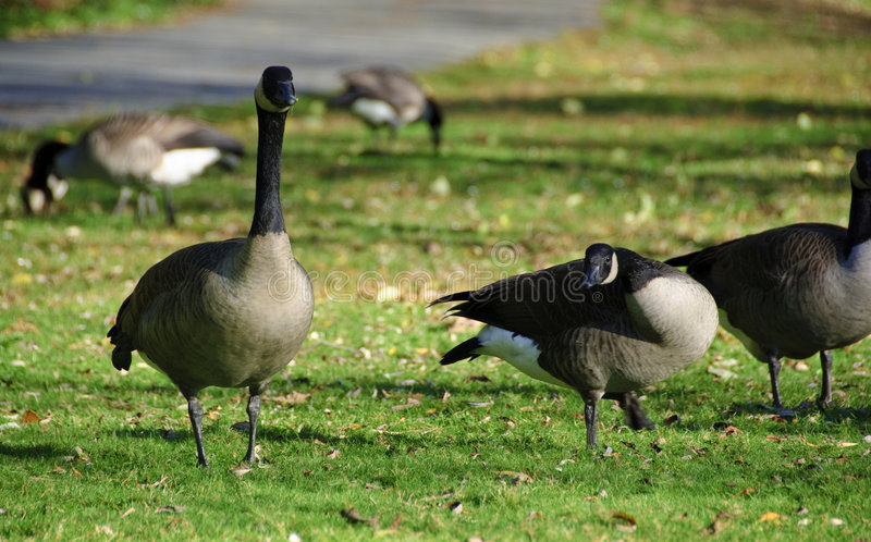 Download Canadian Geese stock image. Image of saving, life, canada - 7098635