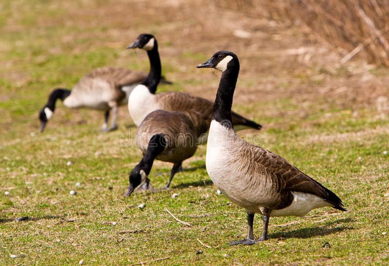Download Canadian Geese stock photo. Image of animals, nature, shore - 8597512