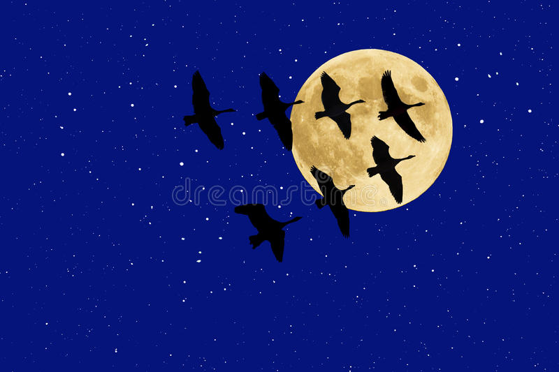 Download Canadian Geese Beneath Full Moon And Stars Stock Photo - Image: 21193634