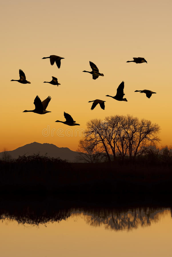 Canadian Geese In Flight Stock Images