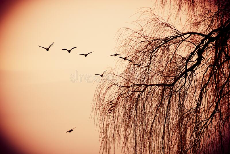 Canadian geese flying over bare tree branches at autumn sunset. Canadian geese flying over bare tree branches late autumn sunset stock image