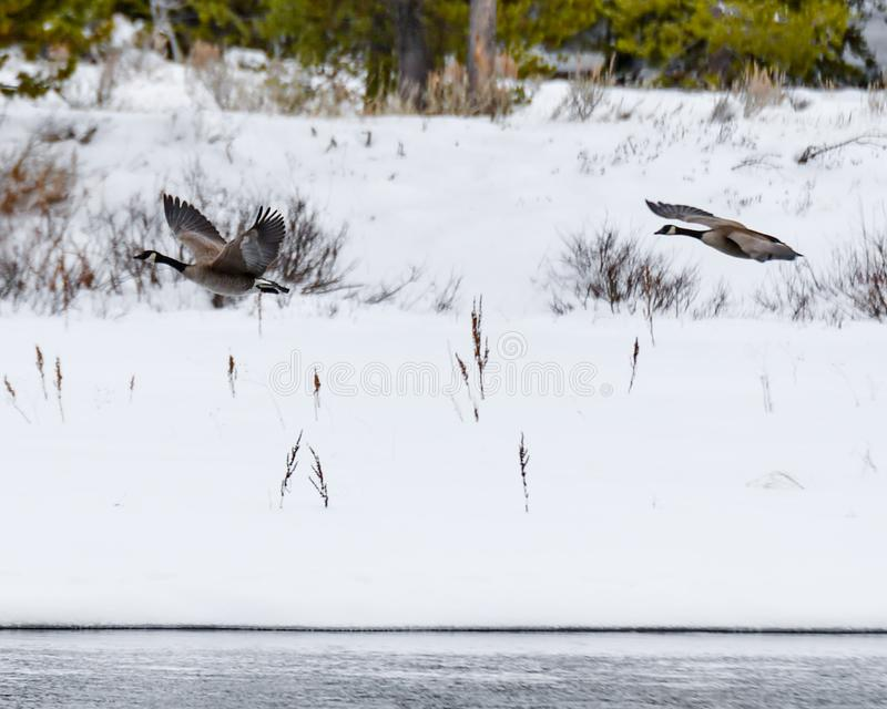 Canadian Geese Flying up Herriman St. Park. stock photo