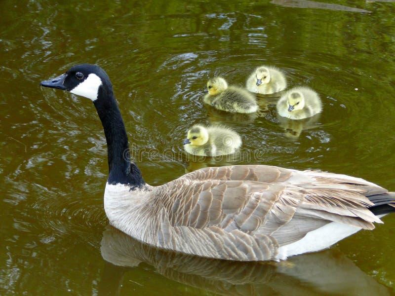 Canadian Geese stock photos