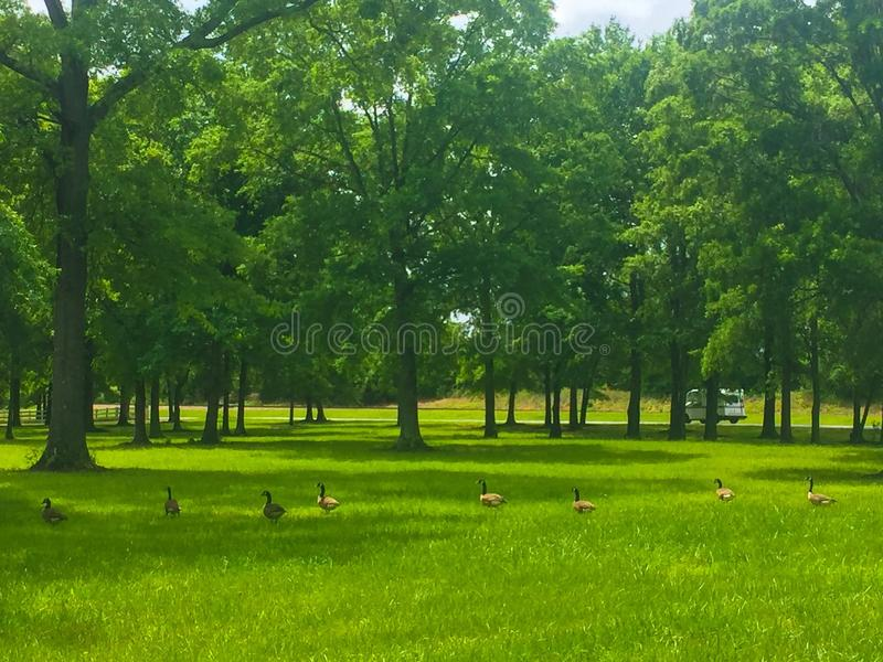 Canadian geese in grassy field royalty free stock photography