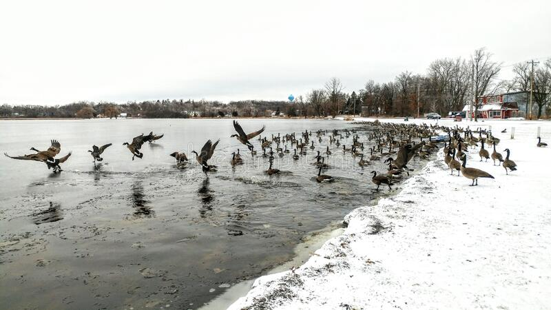Canadian Geese on Lake in Winter with Snow royaltyfri bild