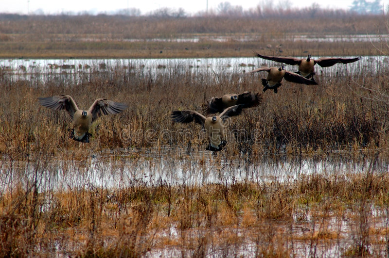Canadian Geese Landing stock photography