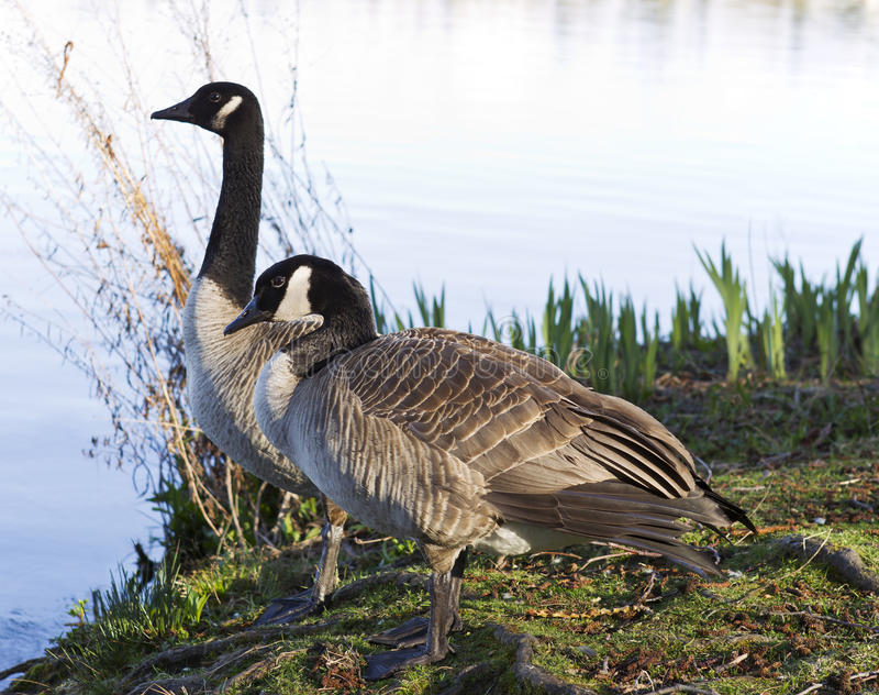 Canadian Geese Mates royalty free stock images