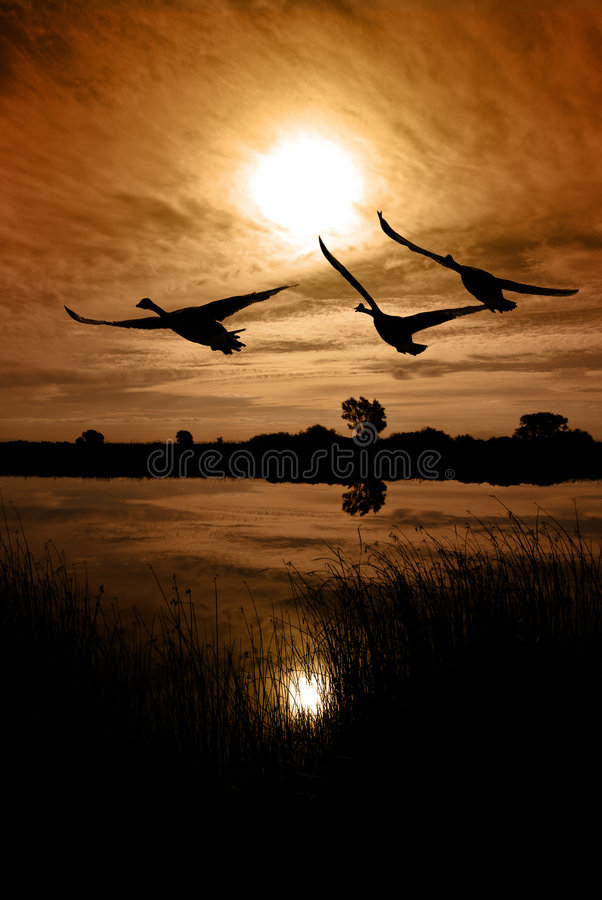 Free Canadian Geese Silhouette Stock Images - 8251934