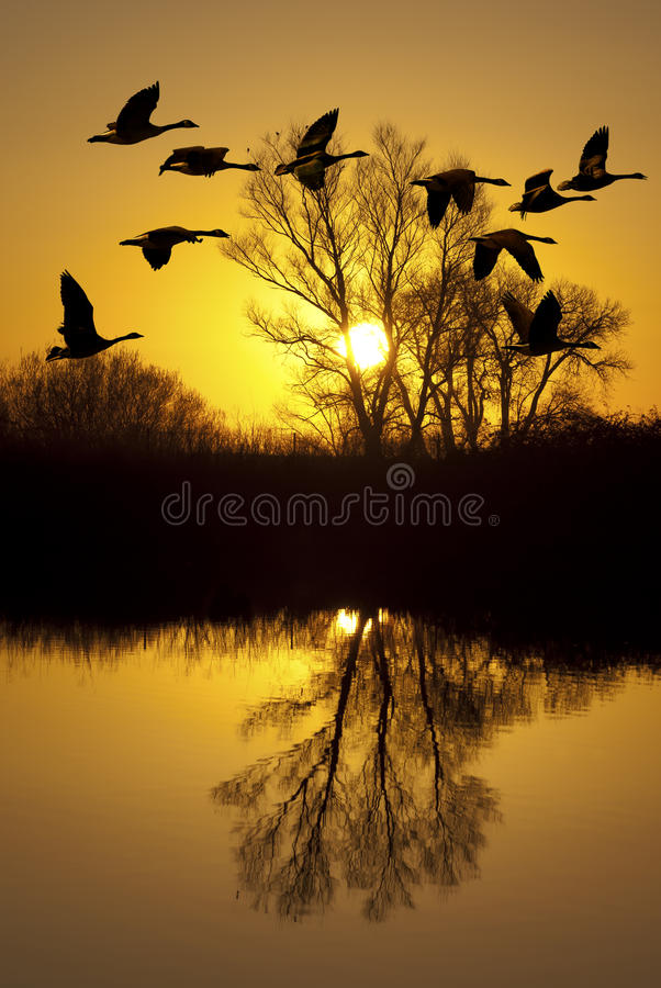 Download Canadian Geese At Sunset Stock Photo - Image: 22254730
