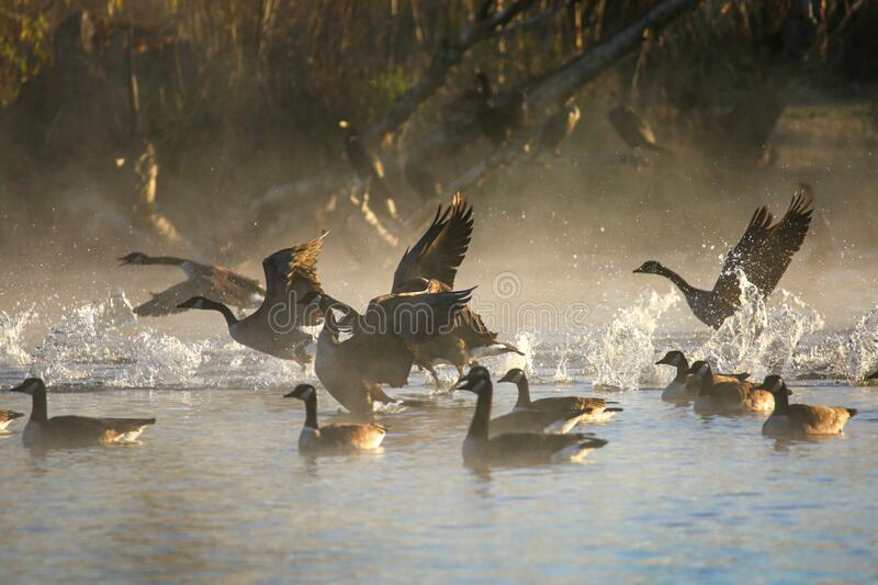 Canadian Geese Take Off royalty free stock photos